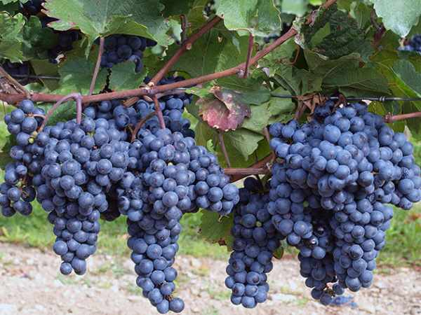 Осенняя обрезка винограда схема