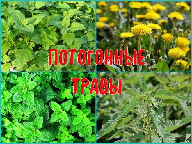 Лекарственные растения от простуды