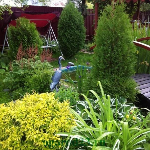 Туя уход и выращивание в саду