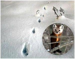 След куницы на снегу