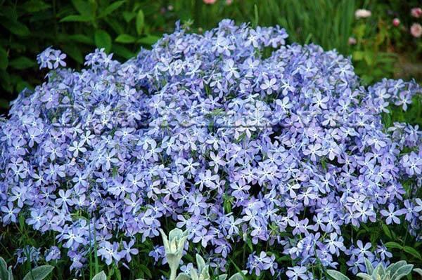 Садовые цветы синего цвета фото и названия