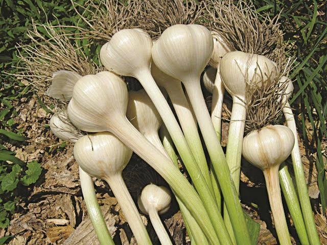 Луковые растения