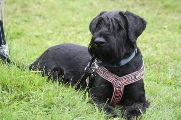Лучшие сторожевые собаки для частного дома
