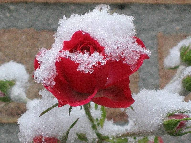 Уход за розами в сентябре