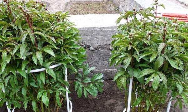 Как рассадить пионы осенью