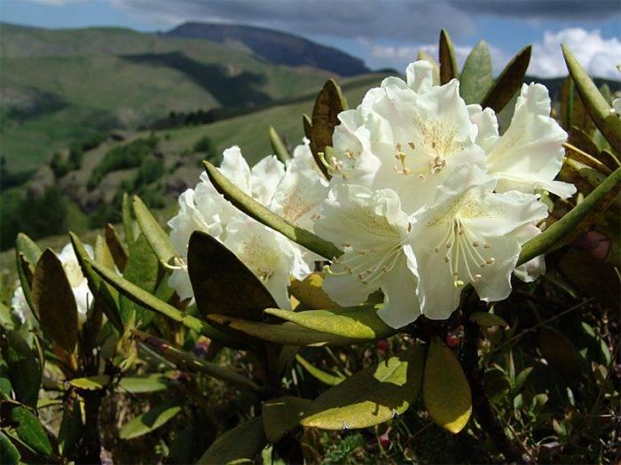 Кустарник рододендрон фото