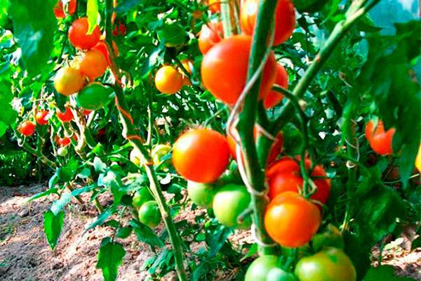 Лучшие сорта высокорослых томатов для теплиц