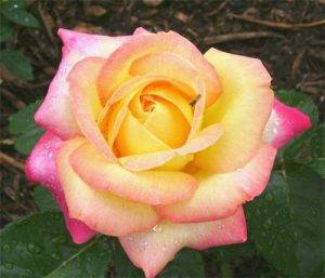 Роузбук сорта роз