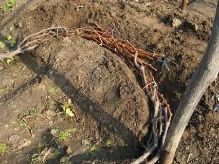 Виноград обрезка осенью и укрытие на зиму