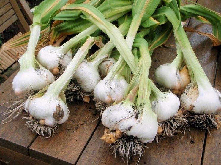 Как вырастить хороший урожай чеснока