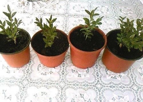 Как рассадить самшит