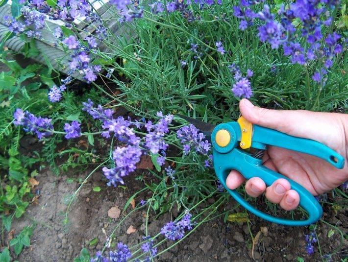 Лаванда посадка и уход в саду фото