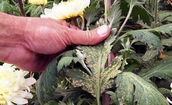 Уход за хризантемами осенью