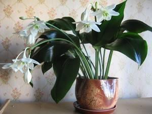 Почему не цветет домашняя лилия