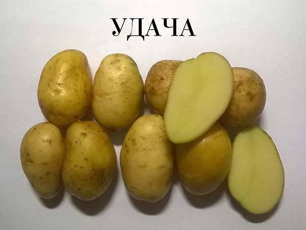 Картофель с белой мякотью сорта