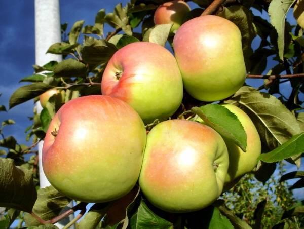 Летние сорта яблонь для средней полосы