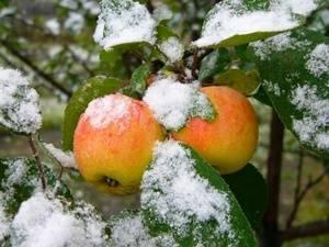 Таблица сортов яблонь