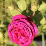 Роза парфюм де рэв