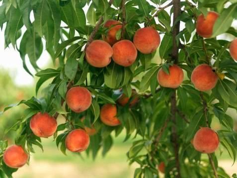 Выращивание персика в подмосковье