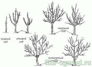 Когда проводится обрезка плодовых деревьев