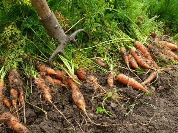 Огородник может решать что хорошо для моркови