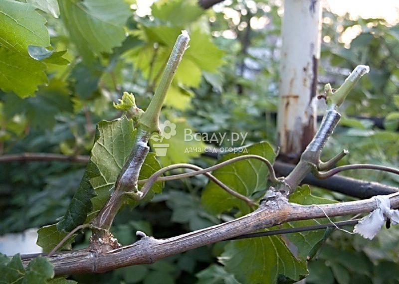 Как прививать виноград весной видео