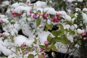 Снежный ягодник кустарник