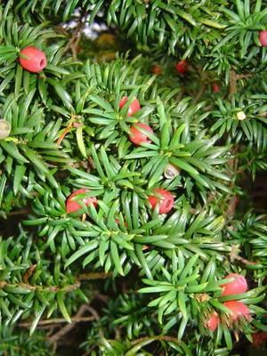 Редкие хвойные растения названия и фото