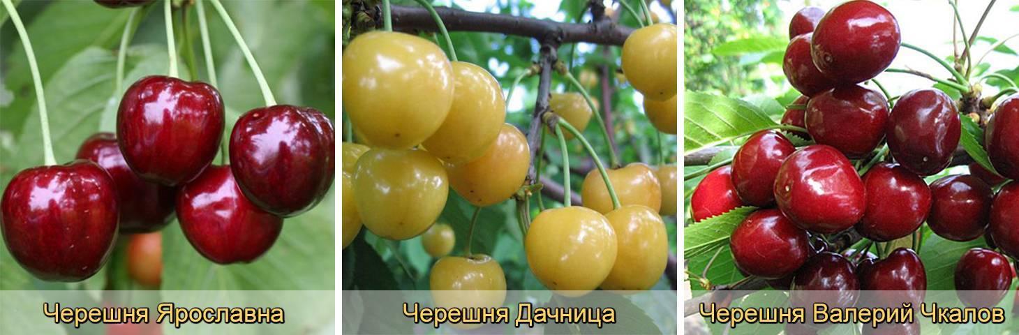 Лучшие сорта черешни для украины: посадка и уход
