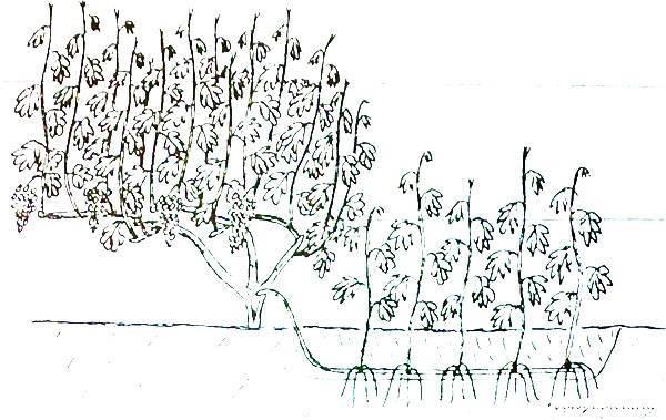Как размножить виноград отводками
