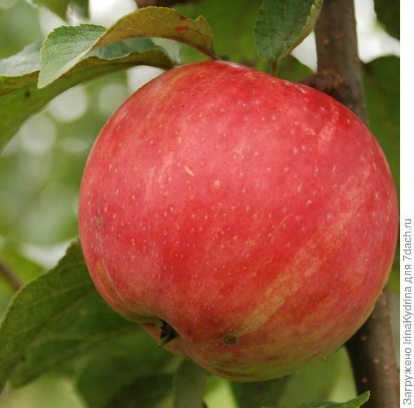 Сладкие сорта яблок украина