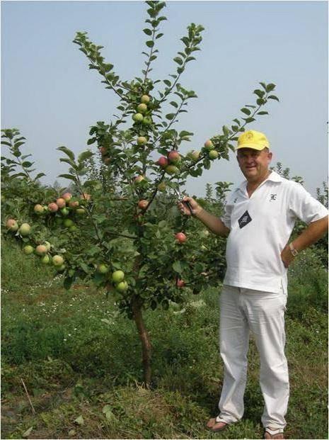 Низькорослі сорти яблунь