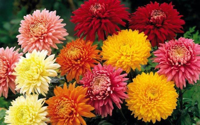 Новые сорта цветов для дачи