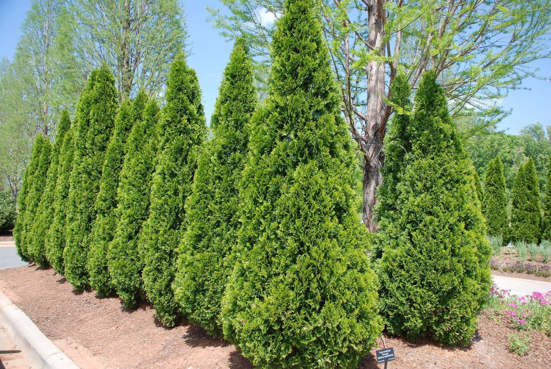 Питомники хвойных растений москвы и подмосковья