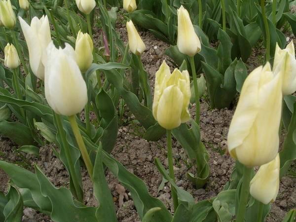 Тюльпан таймлесс