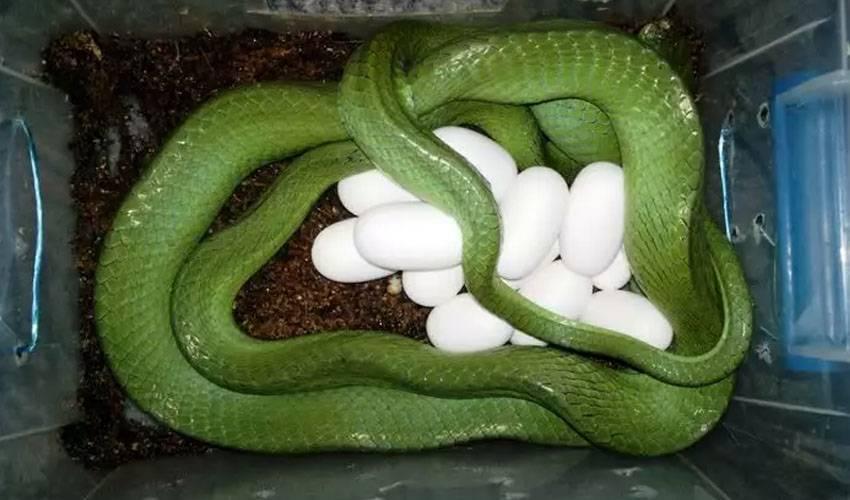 Зеленая змея как называется