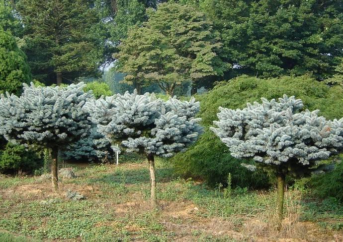 Карликовые ели для сада