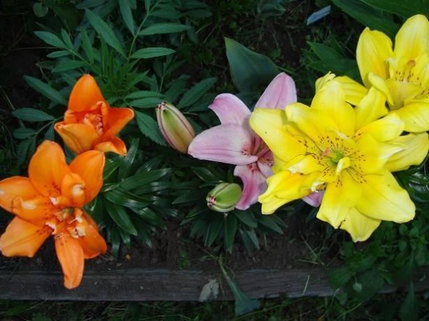 Лилии после цветения что делать