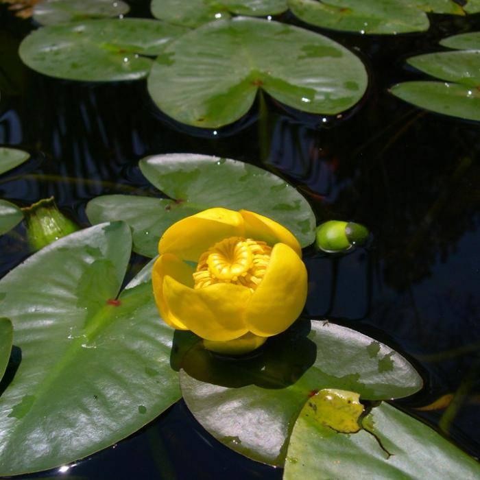 Желтые кувшинки фото