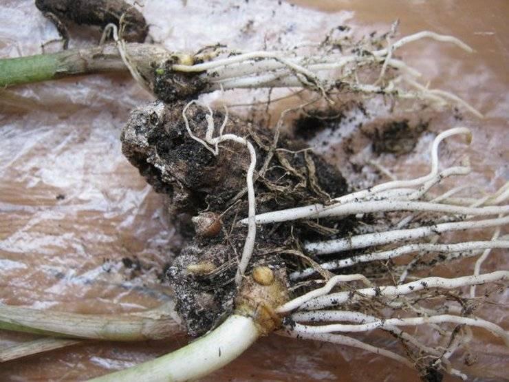 Каллы выращивание и уход в саду