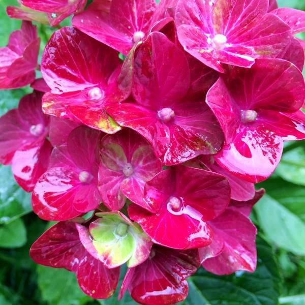 Гортензия мгу розовая фото