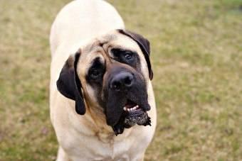 Самая лучшая собака для охраны дома