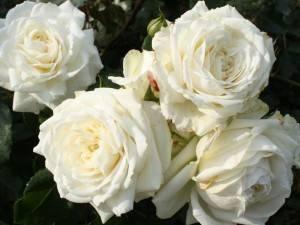 Роза аляска
