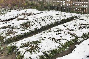 Когда сажают лук под зиму в подмосковье
