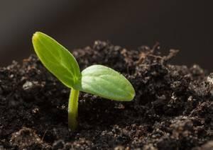 Как замочить семена перед посадкой