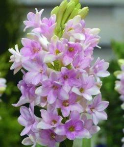 Тубероза цветок фото