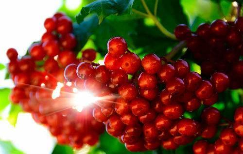 Калина красная кустарник фото