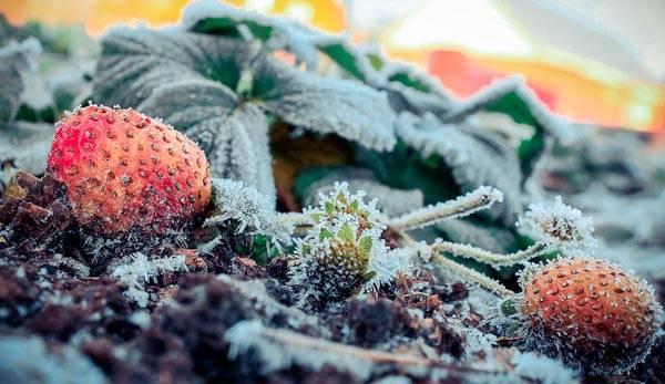 Как закрывать клубнику на зиму