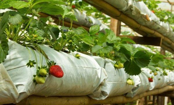 Как выращивать клубнику зимой