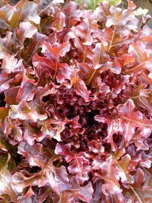 Салат кочанный фото